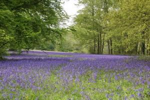 Bluebells-in-Parc-Lye