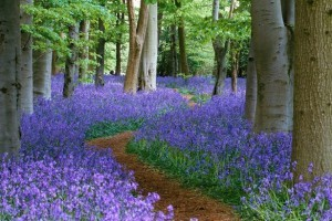 Path-through-the-bluebell-wood-at-Coton-Manor-Northamptonshire-300x200
