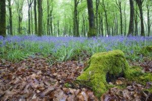 bluebells-in-flower-at-idless-woods