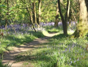 bluebells-in-tehidy-country-park-467x356