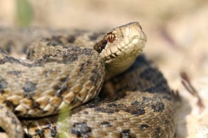 close up of meadow viper the most endangered snake in Europe ( Vipera ursinii rakosiensis )