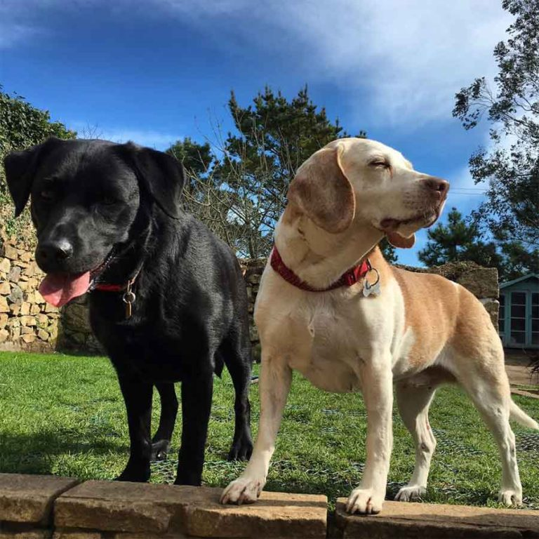 Dog Home Boarding Cornwall