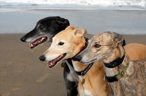 Enjoy some Easter fun with Cornwall's Greyhound Sanctuary