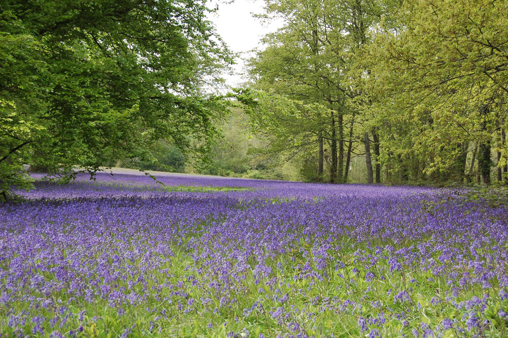 Dog friendly Bluebell walks around Cornwall