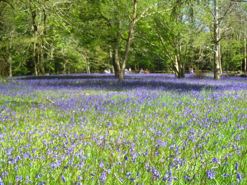 Enjoy the Bluebell Festival at Enys Gardens