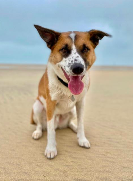 Dylan the dog on Porthkidney beach at Beachpads near St Ives, Cornwall