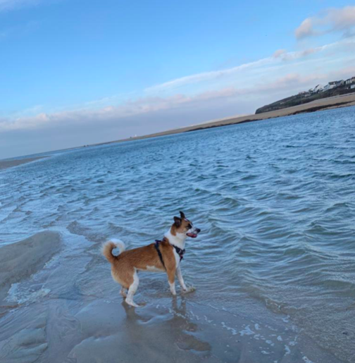 Dylan the dog at Porthkidney beach at Beachpads, near St Ives in Cornwall